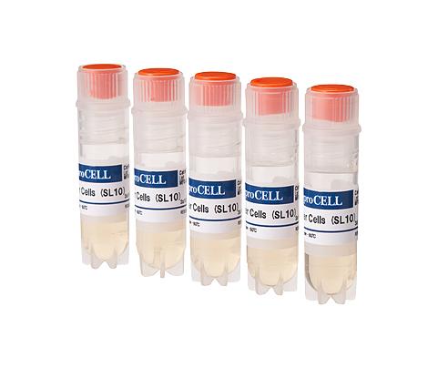 フィーダー細胞(SL10)